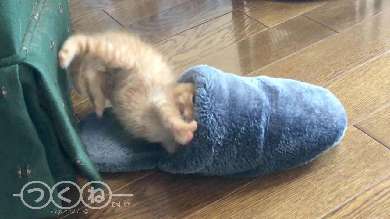 スリッパの中で眠る子猫つくね