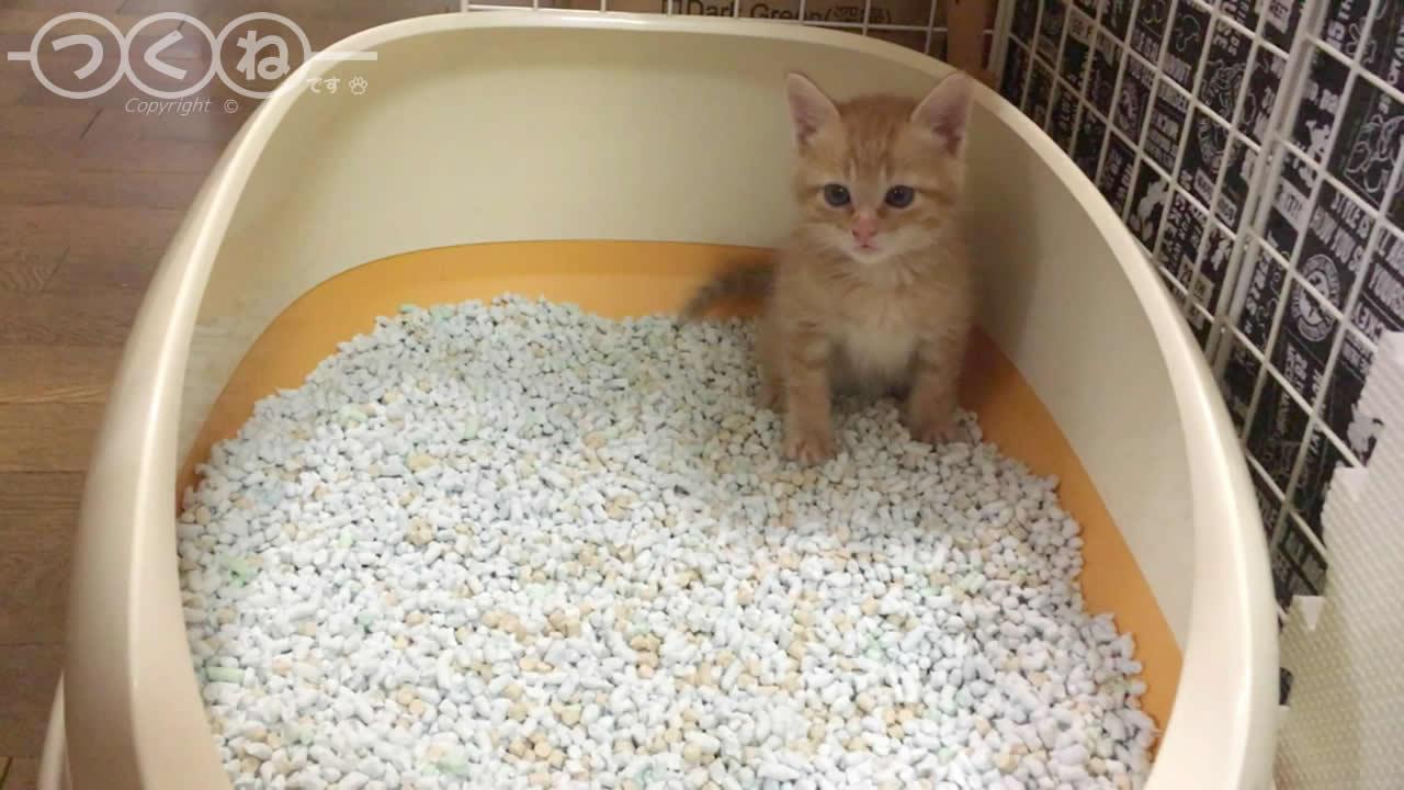 子猫 トイレトレーニング