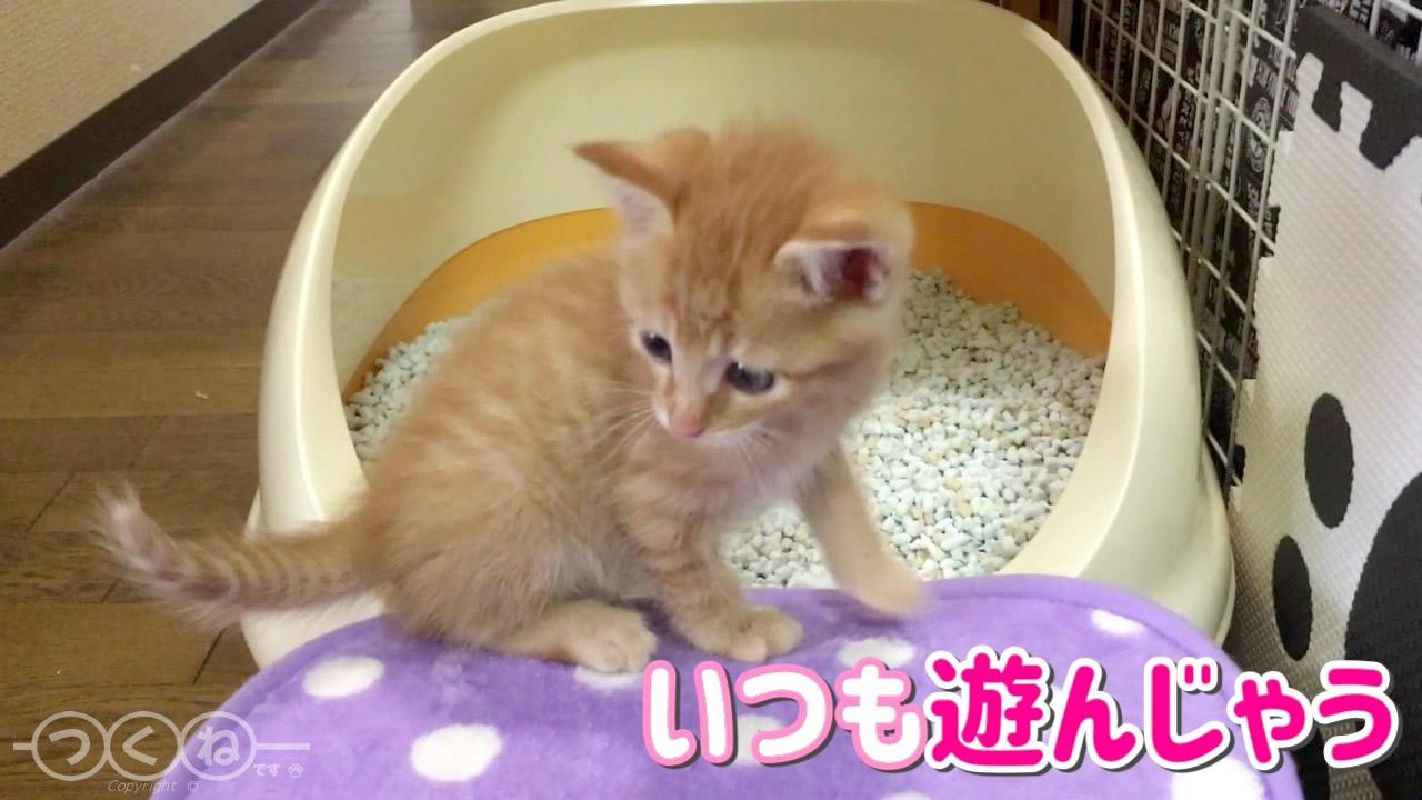 トイレトレーニング中の子猫