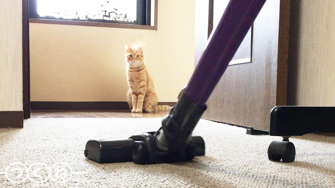 掃除機が嫌いな猫つくね