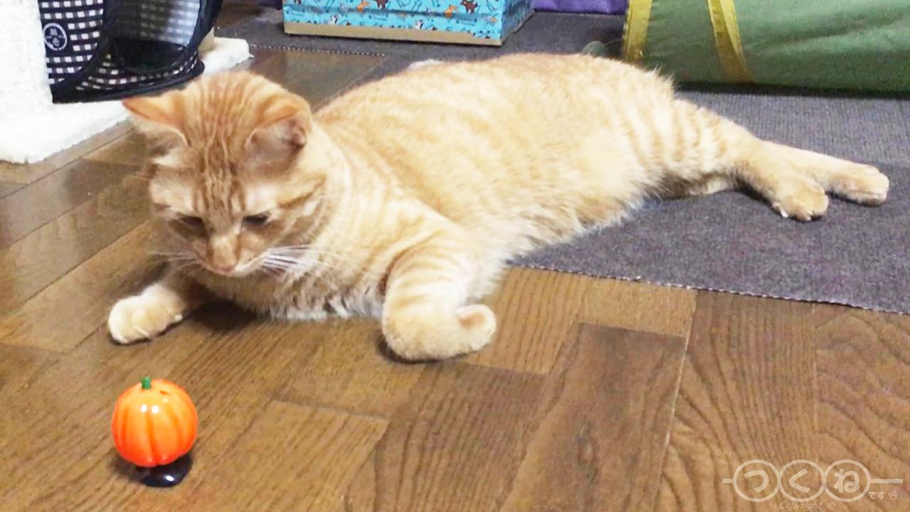 かぼちゃのオモチャをスルーする猫