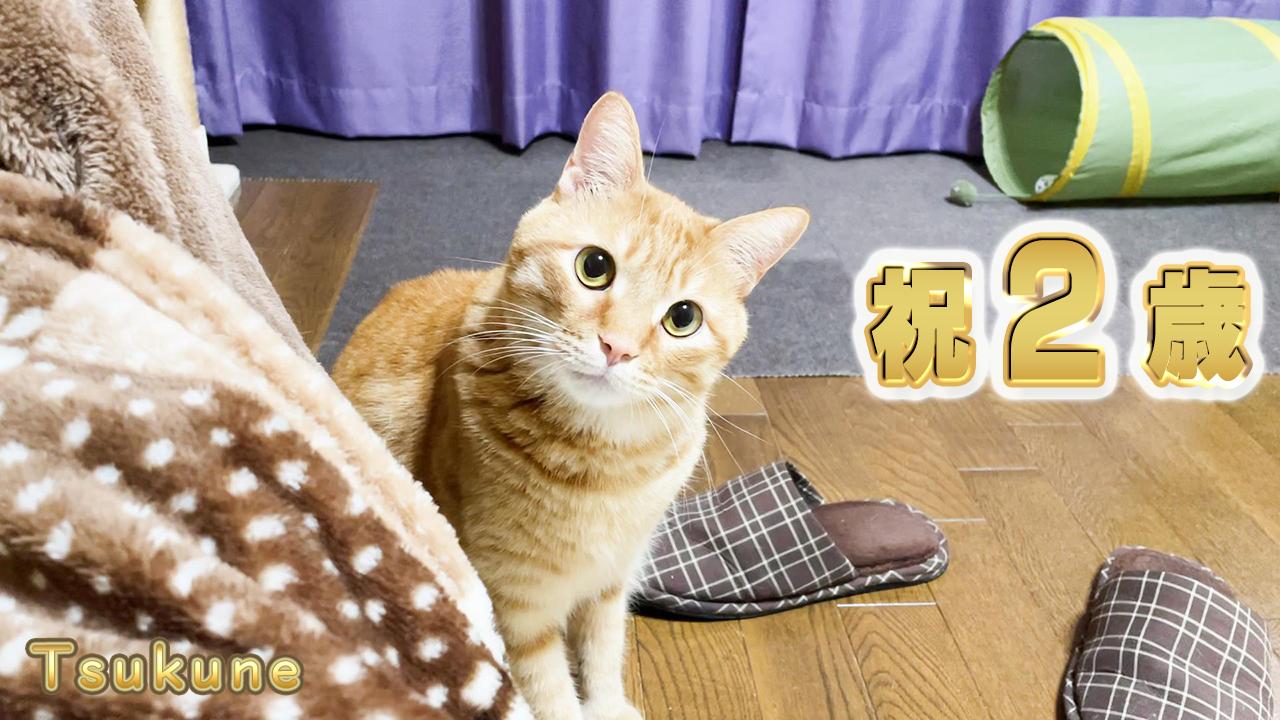 2歳の茶トラ猫つくね