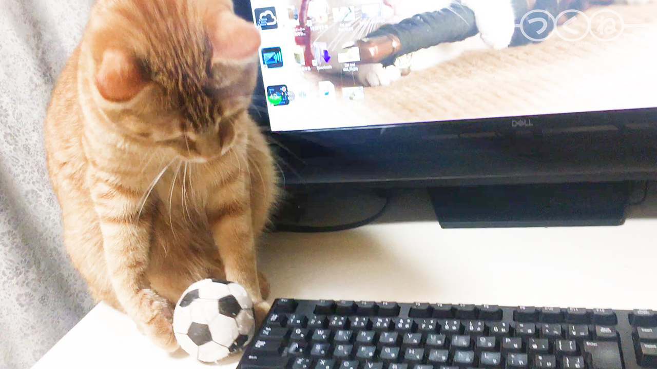 遊んで欲しくてオモチャを持って来る猫