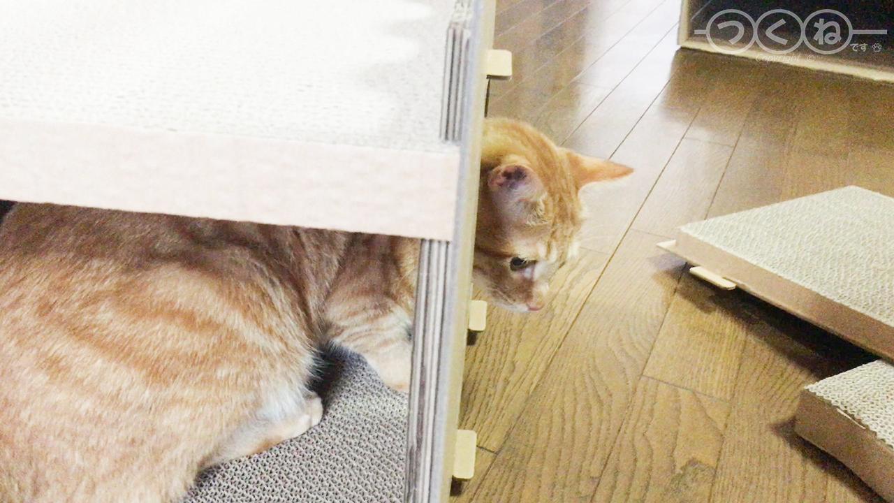 ダンボール爪とぎハウスを組み立てる猫